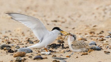 Adult little tern feeding chick Picture: Lyn Ibbitson