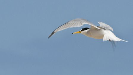 Little tern Picture; Kevin Simmonds