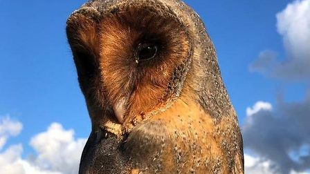 Black barn owls occur once in every 100,000 barn owls Pictiure; Coda Falconry