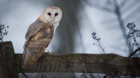 Black barn owls tend to be smaller that a typical barn owl - pictured Picture: Nicolas Hurst