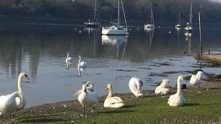 The swans pay little attention to the nearby parkrunners every Saturday morning at South Woodham Fer
