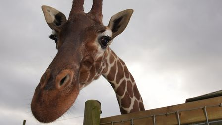A giraffe pokes her head over the fence to say hello at Africa Alive in Suffolk. Picture: SARAH LUC