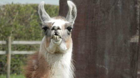 Oasis Camel Park in Halesworth is a great day out for all the family. Picture: ANNA WEISS-HINDLE