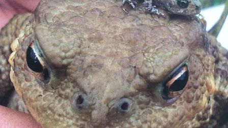 Toads. Picture: Froglife