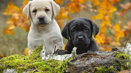 Labradors and golden retrievers will benefit from the research Picture: ANIMAL HEALTH TRUST