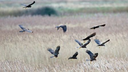 Ten marsh harriers over reed beds at Minsmere Picture: Steve Everett