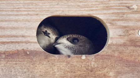 Swifts look out from a nest box on Marlborough Road in Ipswich Picture: Chris Courtney