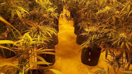 The 800 cannabis plants found at industrial premises at Redgrave, near Diss, had an estimated street