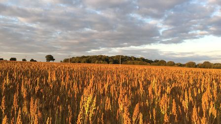A British quinoa crop at Andrew Fairs' farm at Great Tey, Colchester Picture: ANDREW FAIRS