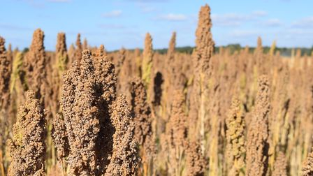 A quinoa field ready for harvest Picture: RED FLAME COMMS