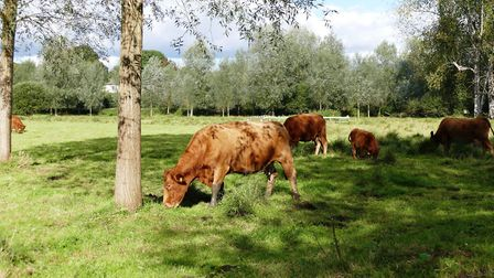 Cattle graze on Sudbury water meadows. Babergh has been ranked the second happiest place to live in