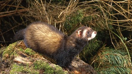 Polecat have recolonised parts of East Anglia in the last two decades Picture: Frank Greenaway