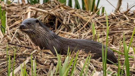 Otter at Lackford Lakes Picture: Mike Nuttall
