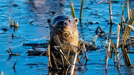 An otter at the Carlton Marshes on an early Sunday morning Picture: CHRISTOPHER CROSS