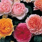 Chelsea Flower Show style roses Pictuer: Enjoy Gardening More