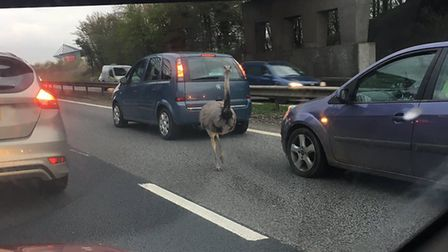 The rhea on the A12 towards Ipswich by Colchester United FC's stadium. Pictures: LUKE SCOFIELD