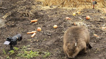 A pair of beavers were released into the Essex countryside Picture: Russell Savory