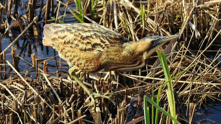 A Bittern at RSPB Minsmere Picture: CHARLES CUTHBERT