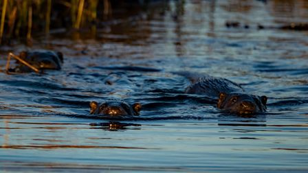 Otters rustling in the reeds at Carlton Marshes - the Trust wants to hear from anyone who knows wil