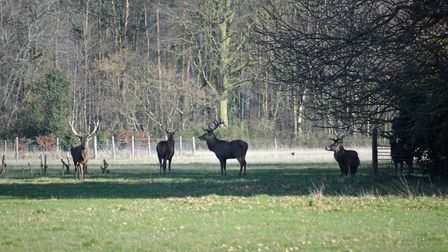 Stags at the Somerleyton Estate. Picture: Chris Hill