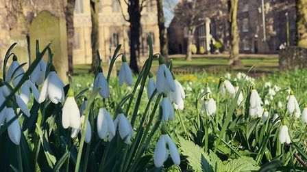 Snowdrops photographed in Bury St Edmunds Abbey Gardens. Picture: MARTHA SOUTHGATE