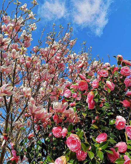 A tree in blossom in a garden in Harwich, Essex. Picture: ANNA MATRONIC