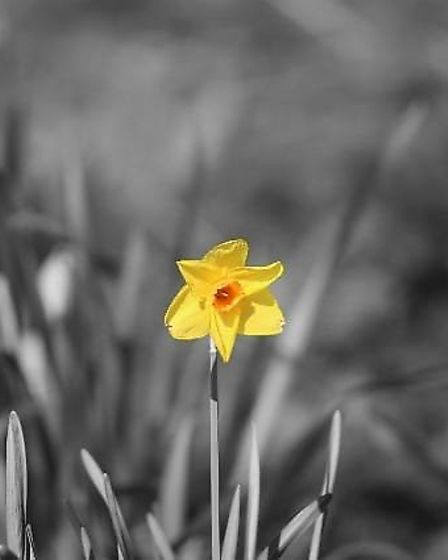 An edited photograph of a daffodil in Needham Lakes. Picture: NICK WILLIAMS