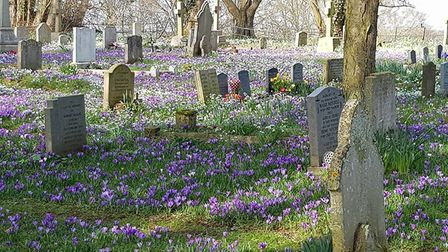 A carpet of purple flowers pictured in Martlesham Church Yard in Ipswich. Picture: KATE TRETHEWEY