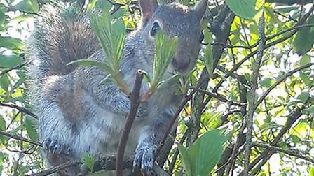 A squirrel was captured by Steph Goodwin in Bury St Edmunds Abbey Gardens. Picture: STEPH GOODWIN