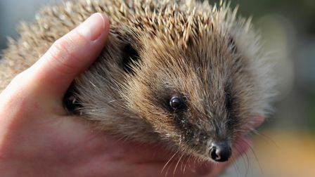 Suffolk Wildlife Trust is encouraging people to make their gardens hedgehog friendly. Picture: SIMON