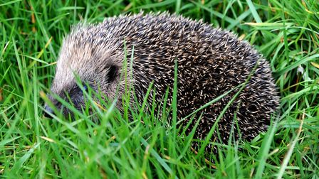 Suffolk Wildlife Trust is looking for people to get creative during Hedgehog Awareness Week. Picture