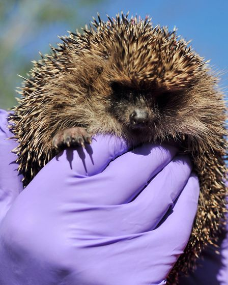 An event is being held at La Tour Cycle Cafe to encourage people to make hedgehog friendly entrances