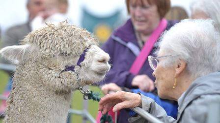 Alpacas at the Framlingham Country Show. Picture: SARAH LUCY BROWN
