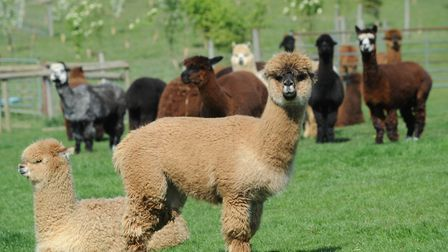 The alpaca experience is voted among the best days out in Suffolk according to TripAdvisor Picture:
