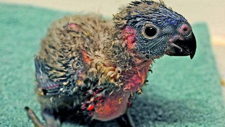 Nine rainbow lorikeet chicks have been born at Colchester Zoo. Picture: COLCHESTER ZOO