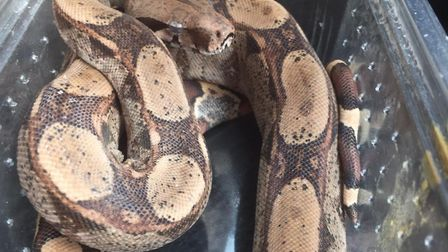 Two snakes were abandoned at Christchurch park and handed in to police in Ipswich. Picture: IPSWICH