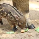 The sweet red river hog piglets don't yet have a name Picture: COLCHESTER ZOO
