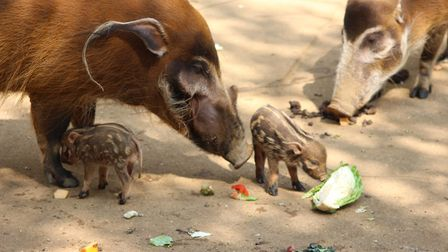 Cute red river hog piglets with their Mum and Dad at Colchester Zoo Picture: COLCHESTER ZOO