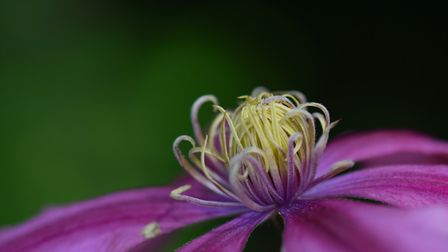 The centre of a clematis Picture: ANGELA GOODWIN