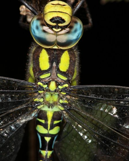 Close up of a hawker dragonfly Picture: ROBERT MCKENNA