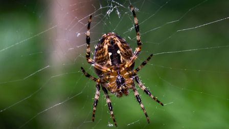 Close up of a spider in it's web Picture: CHRISTOPHER CROSS