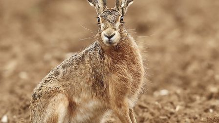 A close up of a beautiful Hare Picture: FRANCES CRICKMORE