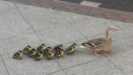 The duck and her ducklings pictured walking through Stowmarket town centre. Picture: STOWMARKET POLI