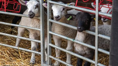 Lambs at the Museum of East Anglian Life Picture: TIM GARRETT-MOORE