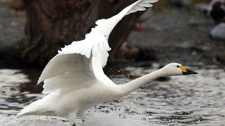 A swan has been causing delays on lines from Suffolk and Essex to London today. This is a file photo