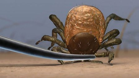 Ticks carry a bacteria which can cause lyme disease so it is important to take precaution in the Suf