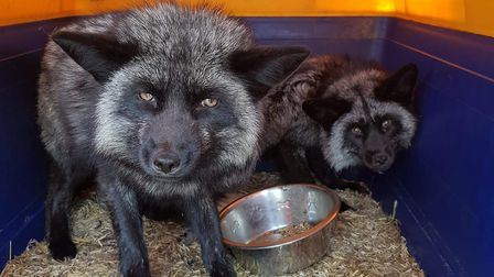 The three rare breed black foxes are said to have been let loose from their enclosure in Colchester