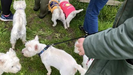 Westies from across the region travelled down for the walk Picture: MICHELLE WRIGHT