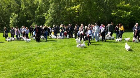 It was the second time that westies and their owners had gathered in Colchester Picture: TERRy PETTI