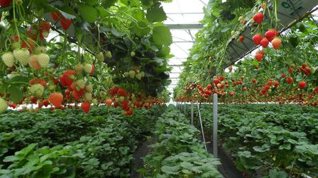 Strawberries growing in Wilkin & Son's new growing system at Tiptree Picture: WILKIN & SON